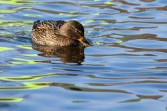 Mallard Duck female on water. Mallard Duck (Anas platyrhynchos) female on water Royalty Free Stock Photography