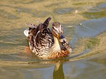 Mallard duck. Female mallard duck on the water Stock Photo
