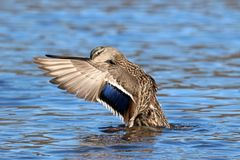 Mallard Duck Female Wing Flap. A female mallard duck swimming on a pond and flapping her wings Stock Photos
