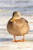 Mallard Duck. Female in winter royalty free stock photos