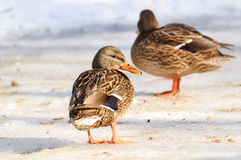 Mallard Duck. Female in winter royalty free stock photo