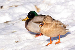 Mallard Duck. Female in winter Stock Image