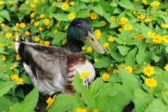 Mallard Duck in Field of Flowers Stock Images