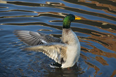 Mallard duck flap its wing. In water Stock Image