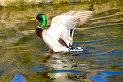 A mallard duck flaping in the river. A mallard duck flapping in the river at spring Stock Photo