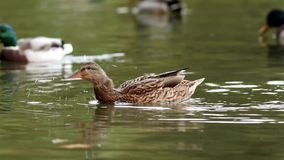 Free Mallard Duck Flapping Wings Royalty Free Stock Photography - 101576107
