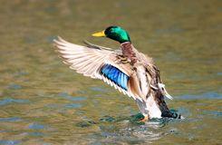 Male mallard duck in a flap. Mallard duck flapping wings on lake. wings outstretched Royalty Free Stock Photo