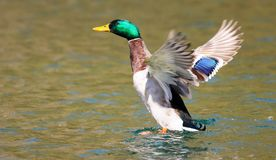 Male mallard duck in a flap. Mallard duck flapping wings on lake. wings outstretched Stock Photo