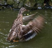 Mallard duck flapping wings in a pond. Female mallard duck flapping wings in a pond, with motion blur Stock Image