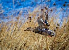 Mallard duck flies through the yellow grasses in Bosque del Apache. New Mexico Stock Image
