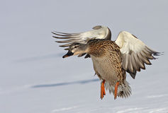Mallard duck in flight Royalty Free Stock Photo