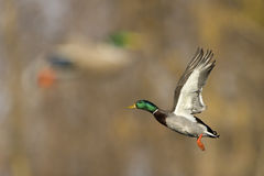 Mallard Duck In Flight Stock Photo