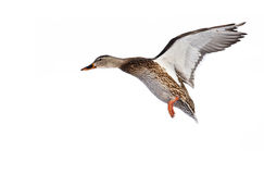 Mallard duck in flight Stock Photos