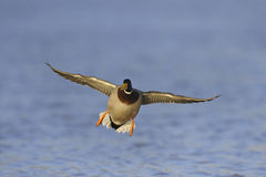 Mallard duck in flight Stock Images