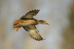 Mallard duck in flight. Female mallard duck (Anas platyrhynchos) in flight Royalty Free Stock Photography