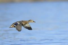 Mallard duck in flight Royalty Free Stock Photo