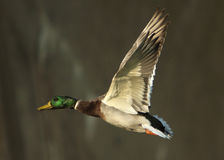 Mallard Duck In Flight Stock Photography