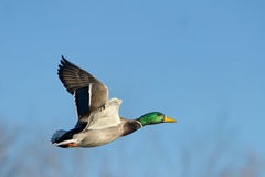 Mallard Duck In Flight. A Mallard Duck in flight Royalty Free Stock Images