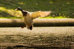 Mallard duck in flight Royalty Free Stock Photography