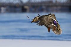 Mallard duck in flight Stock Image