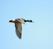 A Mallard duck in flight. With a blue sky background Royalty Free Stock Image