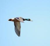 A Mallard duck in flight Royalty Free Stock Image