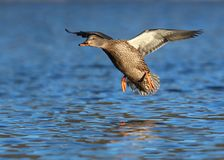 Mallard Duck in Flight Coming in to Land royalty free stock photo