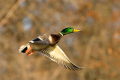Mallard Duck In Flight Royalty Free Stock Photos