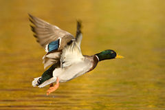 Mallard Duck In Flight. A mallard drake in flight over Stock Images