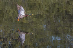 Mallard Duck In Flight. A male mallard duck is taking flight over water, with reflection Royalty Free Stock Photos