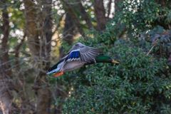 Mallard duck in flight. United Kingdom Royalty Free Stock Photos