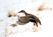 Mallard duck. In flight in winter Stock Photos