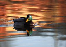 A Mallard duck floating on calm water. A wild drake swims along the calm water in the rays of the setting sun Royalty Free Stock Photo