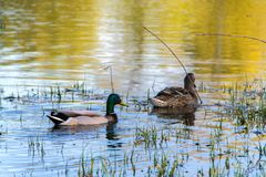 Duck Mallard in pond. A mallard duck floating in a pond Stock Images