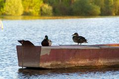Duck Mallard in pond. A mallard duck floating in a pond Stock Image
