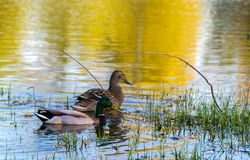 Duck Mallard in pond. A mallard duck floating in a pond Stock Photography