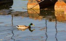 Duck Mallard in pond. A mallard duck floating in a pond Stock Photo