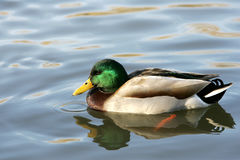 Mallard Duck. Floating in a pond in Illinois Stock Photography