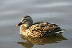 Mallard Duck. Floating in a pond in Illinois Stock Images