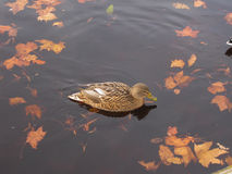 Mallard duck floating on the water Royalty Free Stock Photos