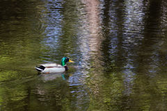 The Mallard Duck. Floats in the Pond Royalty Free Stock Photography
