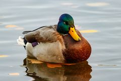 Mallard duck floats on the water surface of the lake Stock Photos