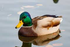 Mallard duck floats on the water surface of the lake Royalty Free Stock Images