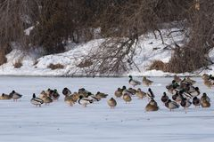 Mallard Duck Flock on ice Stock Photography