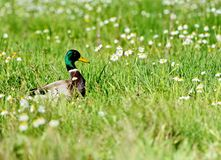Mallard duck and flowers Royalty Free Stock Photography