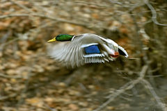Mallard duck. Flying in the air Stock Images