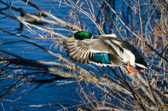 Mallard Duck Flying al lago immagine stock