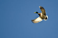 Mallard Duck Flying Alone in the Blue Sky Royalty Free Stock Image
