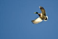Mallard Duck Flying Alone nel cielo blu Immagine Stock Libera da Diritti