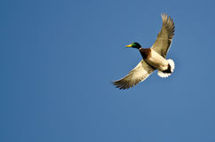 Mallard Duck Flying Alone nel cielo blu immagine stock